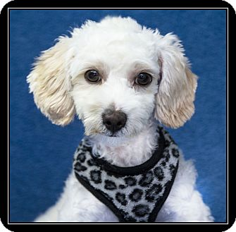 Maltese/Poodle (Miniature) Mix Puppy for adoption in Fort Braff, California - Vinnie