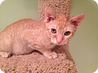 Domestic Shorthair Kitten for adoption in East Hanover, New Jersey - Bob