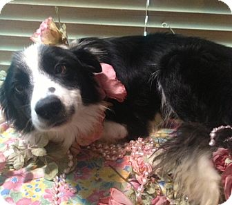 Border Collie Mix Dog for adoption in East Hartford, Connecticut - Petunia adoption pending