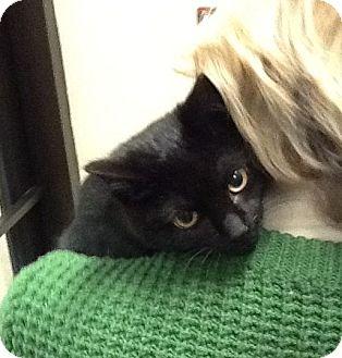 Domestic Shorthair Kitten for adoption in Colmar, Pennsylvania - Opal