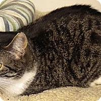 Adopt A Pet :: Felix - Middle Island, NY