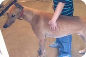 Greyhound Dog for adoption in Pearl River, Louisiana - Rhino