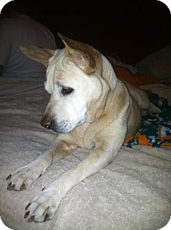 Labrador Retriever Mix Dog for adoption in Tallahassee, Florida - Peaches - in foster
