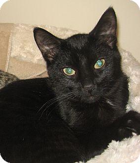 Domestic Shorthair Kitten for adoption in Hamilton, New Jersey - MAGOO - 2014