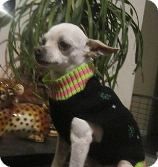 Chihuahua Dog for adoption in Copperas Cove, Texas - Lacy