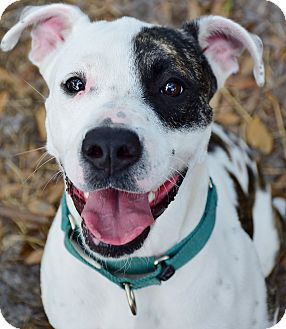 American Staffordshire Terrier Mix Dog for adoption in Bradenton, Florida - Angel