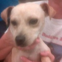 Terrier (Unknown Type, Medium)/Smooth Fox Terrier Mix Dog for adoption in Fresno, California - Georgio