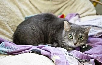 Domestic Shorthair Cat for adoption in Midway City, California - Gypsy
