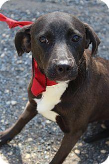 Labrador Retriever/Hound (Unknown Type) Mix Dog for adoption in Waldorf, Maryland - Prisilla