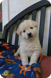 German Shepherd Dog Mix Puppy for adoption in MILWAUKEE, Wisconsin - STEVEN