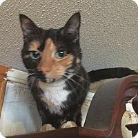 Domestic Shorthair Cat for adoption in Garland, Texas - Paris