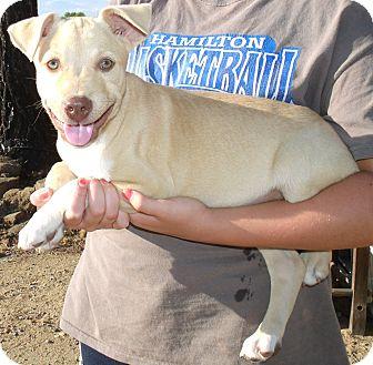 Labrador Retriever/Husky Mix Puppy for adoption in Corona, California - GAVIN