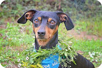 Dachshund Dog for adoption in Fort Valley, Georgia - Fletcher