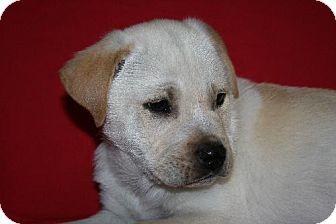 Labrador Retriever Mix Puppy for adoption in Green Cove Springs, Florida - Luigi