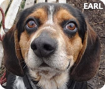 Beagle Mix Dog for adoption in Lapeer, Michigan - EARL--SUCH A CHARACTER!