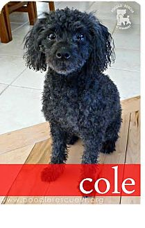 Poodle (Toy or Tea Cup) Mix Dog for adoption in Essex Junction, Vermont - Cole