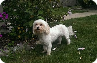 Maltese/Poodle (Miniature) Mix Dog for adoption in China, Michigan - Molly