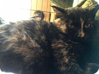 Domestic Shorthair Kitten for adoption in Gunnison, Colorado - Abigail