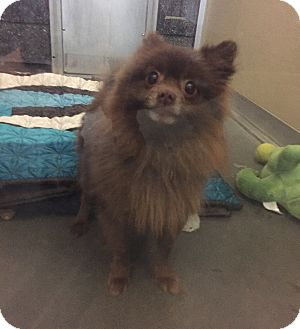 Pomeranian Mix Dog for adoption in Wilmington, Delaware - Noel