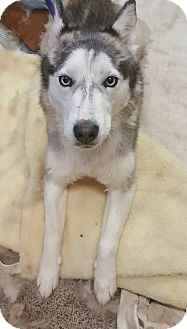 Siberian Husky Dog for adoption in Apple valley, California - Isabella