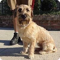 Lathrop Ca Basset Hound Schnauzer Miniature Mix Meet Cooper A Dog For Adoption
