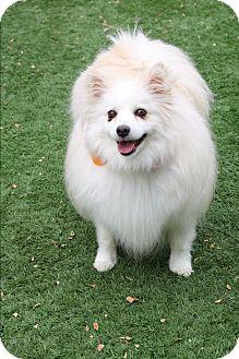 American Eskimo Dog Mix Dog for adoption in Litchfield Park, Arizona - Sura