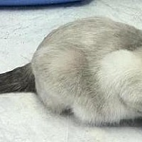 Siamese Cat for adoption in Des Moines, Iowa - LILAC