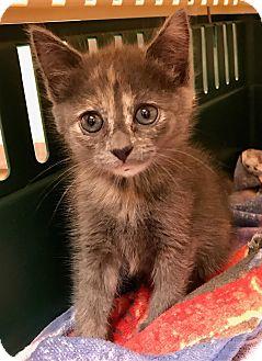 Domestic Mediumhair Kitten for adoption in Las Vegas, Nevada - GARBO