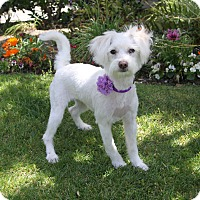 Adopt A Pet :: DAISY - Newport Beach, CA