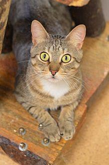 Domestic Shorthair Cat for adoption in Atlanta, Georgia - Gala 170317