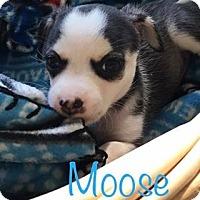 Adopt A Pet :: Moose - Marlton, NJ