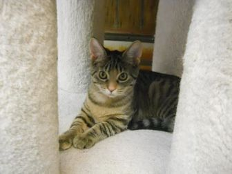Domestic Shorthair/Domestic Shorthair Mix Cat for adoption in Greenville, Illinois - Toffee