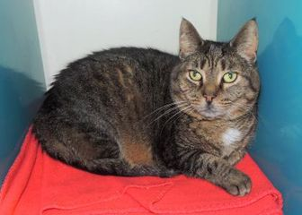Domestic Shorthair/Domestic Shorthair Mix Cat for adoption in Westville, Indiana - Christopher