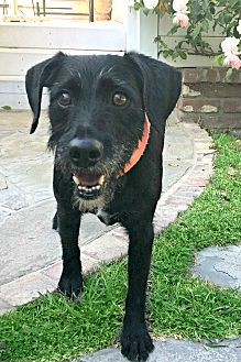 Spaniel (Unknown Type)/Labrador Retriever Mix Dog for adoption in Redondo Beach, California - Jack is very devoted!