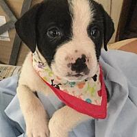 Adopt A Pet :: Skunk - Marlton, NJ