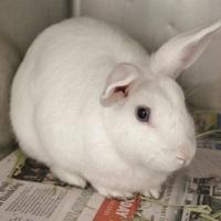 Adopt A Pet :: *HATHI - Las Vegas, NV