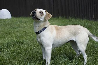 Labrador Retriever Mix Dog for adoption in Sparta, New Jersey - Tesa