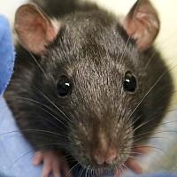 Adopt A Pet :: Tibbs - Jefferson, WI