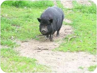 Pig (Potbellied) for adoption in sun city, California - mollie