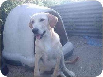 Labrador Retriever Mix Dog for adoption in springtown, Texas - captain