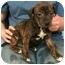 Photo 2 - Shepherd (Unknown Type)/Terrier (Unknown Type, Medium) Mix Puppy for adoption in Kansas City, Missouri - Persimmon