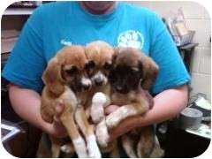 Labrador Retriever/Golden Retriever Mix Puppy for adoption in Naperville, Illinois - PLEASE HELP