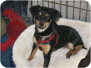 Chihuahua/Miniature Pinscher Mix Dog for adoption in Idyllwild, California - Annie