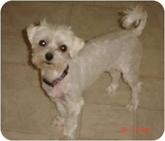 Maltese Mix Dog for adoption in Denver, Colorado - Jill