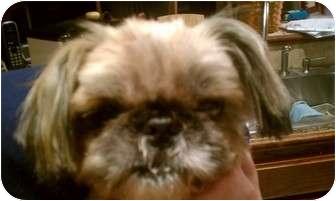 Shih Tzu Mix Dog for adoption in Hales Corners, Wisconsin - JoJo