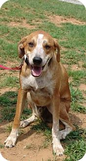 English (Redtick) Coonhound Mix Dog for adoption in Londonderry, New Hampshire - Dixen ($100 off)