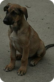 Shepherd (Unknown Type) Mix Puppy for adoption in Danbury, Connecticut - Gunther PENDING