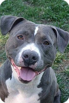 American Staffordshire Terrier Mix Dog for adoption in Van Nuys, California - Dolce