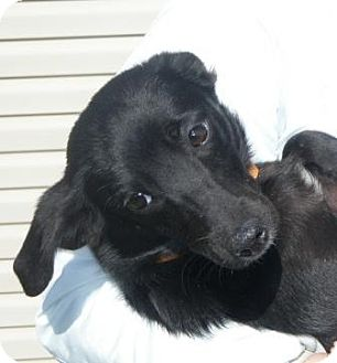 Terrier (Unknown Type, Small)/Whippet Mix Dog for adoption in Huntingburg, Indiana - Pocus