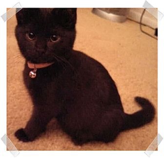 Domestic Shorthair Kitten for adoption in Olmsted Falls, Ohio - Via